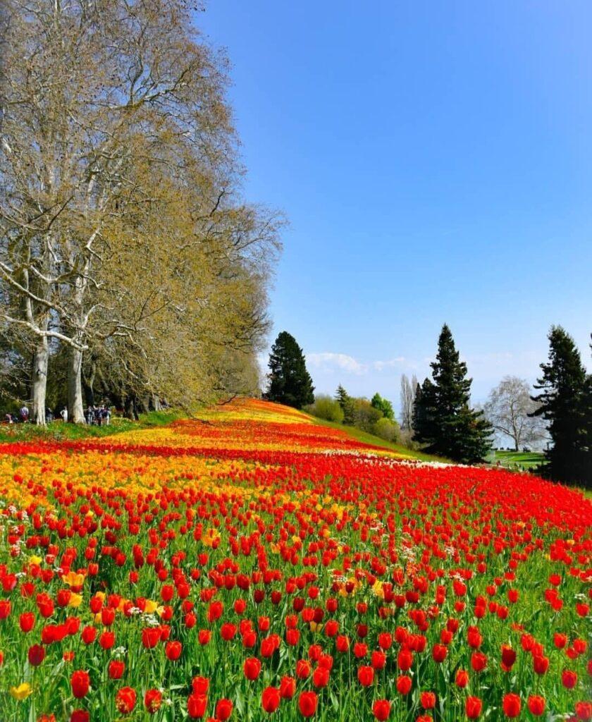 Visitare Costanza: la fioritura dei tulipani sull'isola di Mainau.
