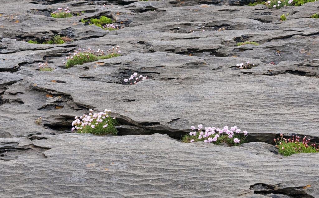 The Burren Irlanda: fiori crescono tra le crepe fra le rocce.